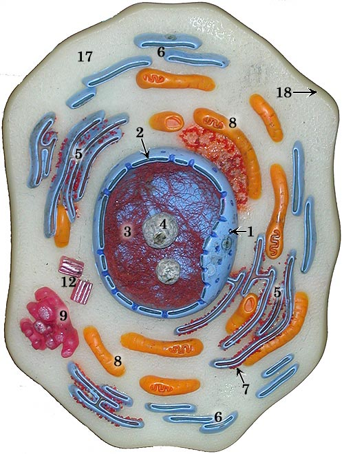 chap 1 cell structure and function