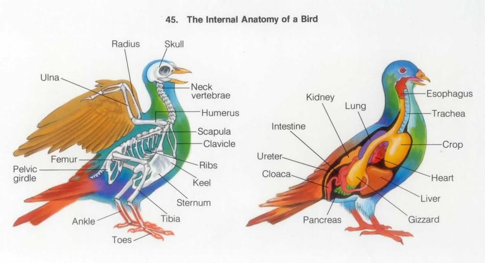 Beautiful Bird Anatomy Crop Sketch - Image of internal organs of ...